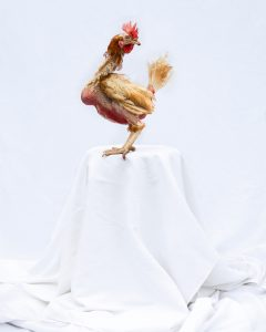 33. Britney Sheet - Maria Ansell - The hen is used as a symbol for fertility and reproduction in many different cultures and communities, this image came to fruition whilst I was exploring narratives surrounding matriarchal figures in my life. Britney was rescued from a local egg laying farm when she was a year and a half old and her productivity began to slow down. Even though Britney came from a free range farm with access to acres of land and a constant supply of food and fresh water, feather pecking can still occur when the birds become stressed or are at the bottom of the food chain. The sight of her unfeathered body and protruding crop is unsettling especially if you aren't familiar with the biology of poultry. Her body emulating a carcass, she is presented as a platter on a pedestal and juxtaposed against an unfamiliar environment, becoming more alien and displaced. People find the personalisation of a food source disconcerting and I intentionally play in to this by naming the chicken, giving her an identity.