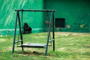 55. Still chance to survive? - Tomas Rodak - Gorilla in the local ZOO...